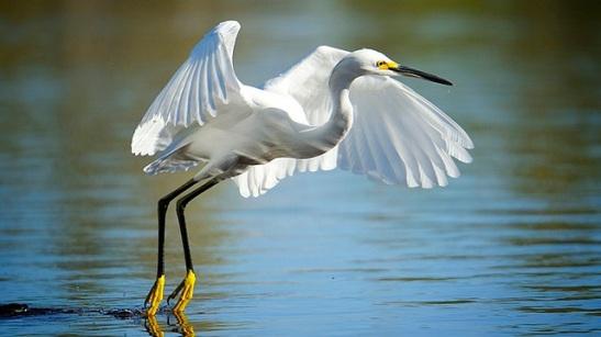 white heron.jpg