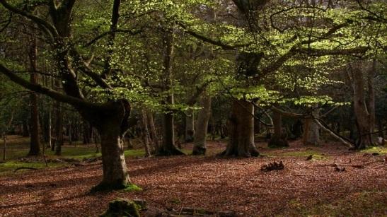 Beech trees.jpg