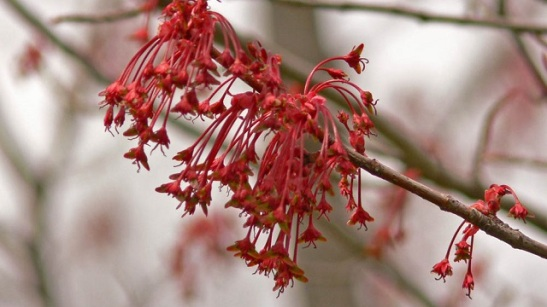 maple flowers.jpg