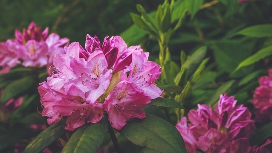 Nature Bush Flower Rhododendron Magenta Summer