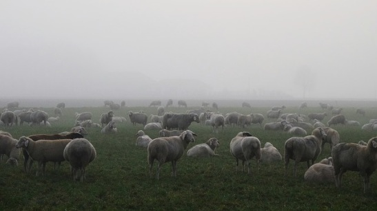sheep in fog.jpg