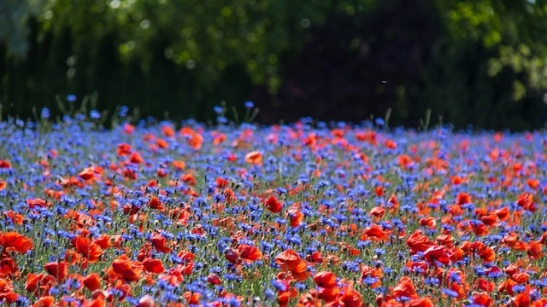 poppies and cornflowers.jpg
