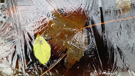 sycamore leaf.jpg