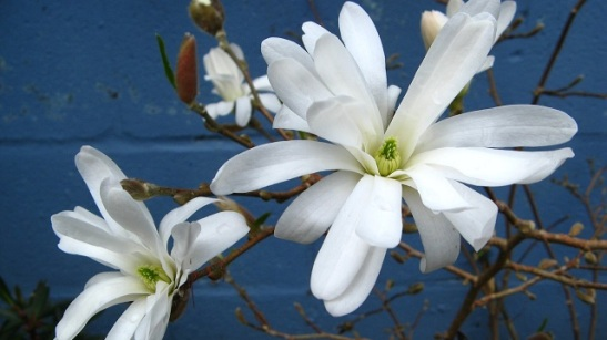 Magnolia stellata.jpg
